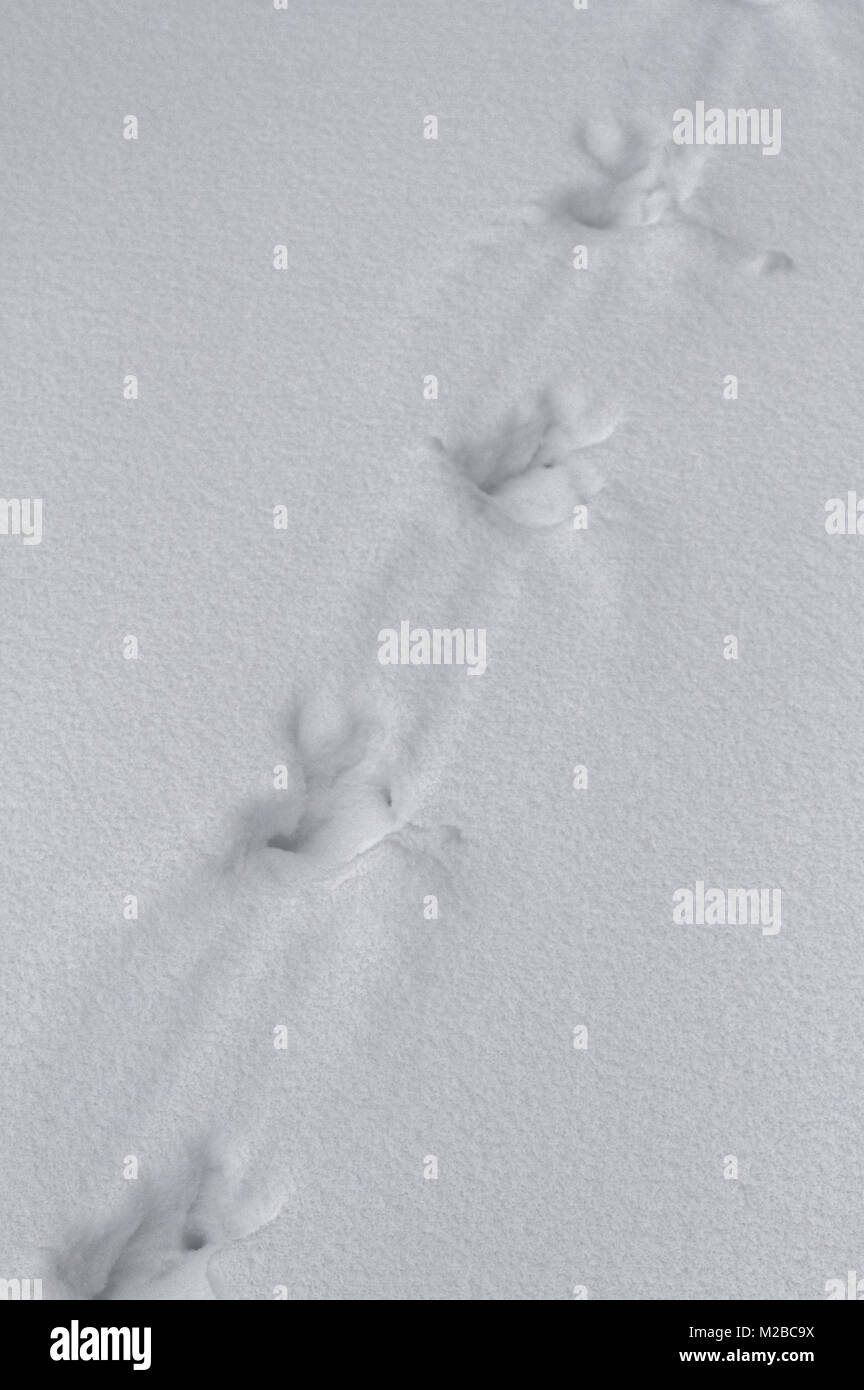 Wild turkey tracks in the snow in Quebec,Canada - Stock Image