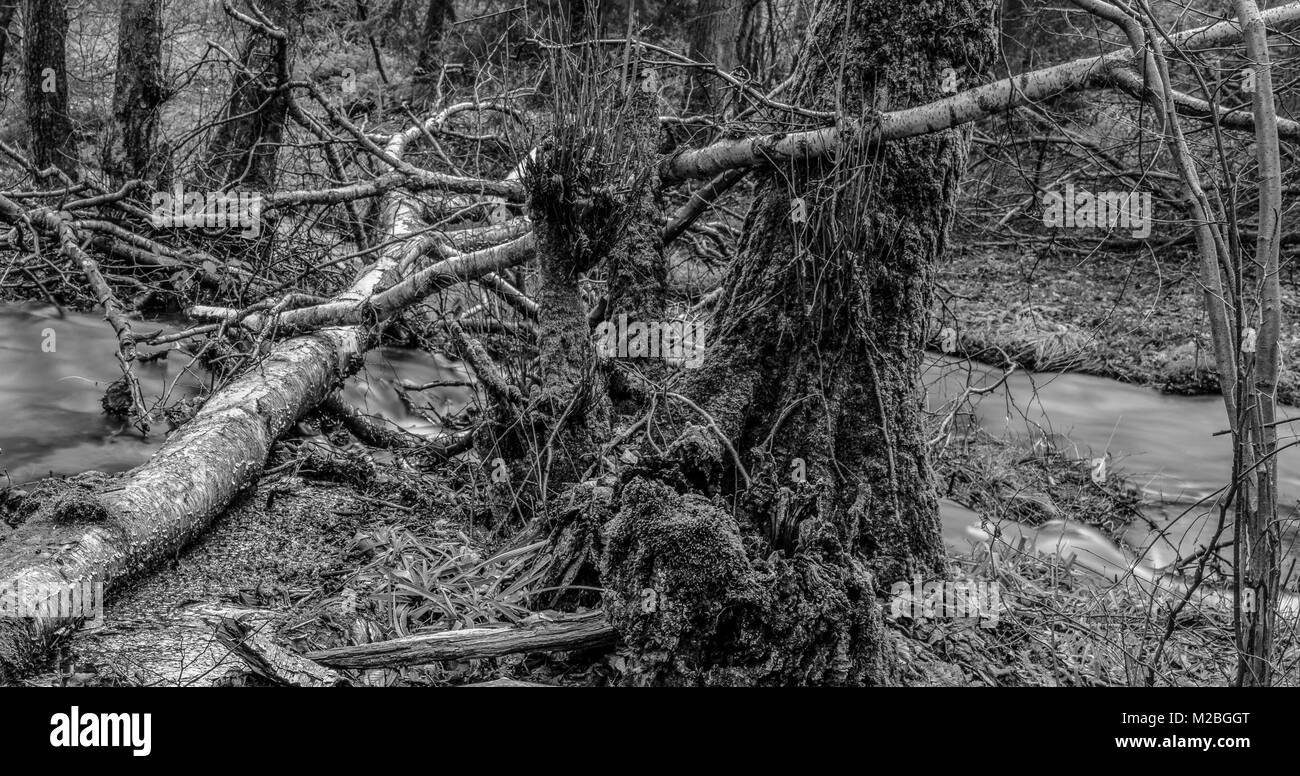 Surreal monochrome long exposure photography of a wild untouched forest with fallen brich trees. moss,undergrowth,fern,grass Stock Photo