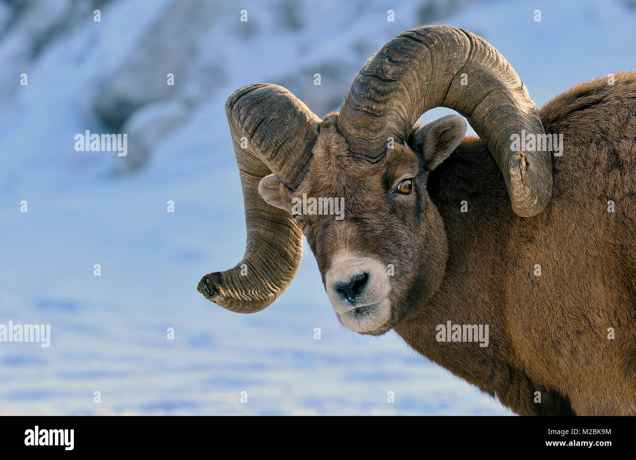 An adult male Bighorn sheep (Ovis canadensis),  looking back with a 'don't bother me' expression on - Stock Image