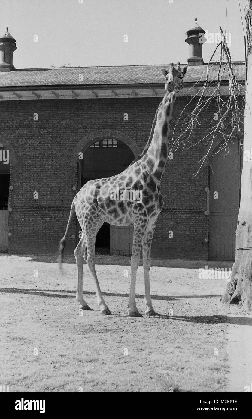 1940s, London Zoo, exterior, historical picture of a giraffe standing outside his living accomodation, the giraffe - Stock Image