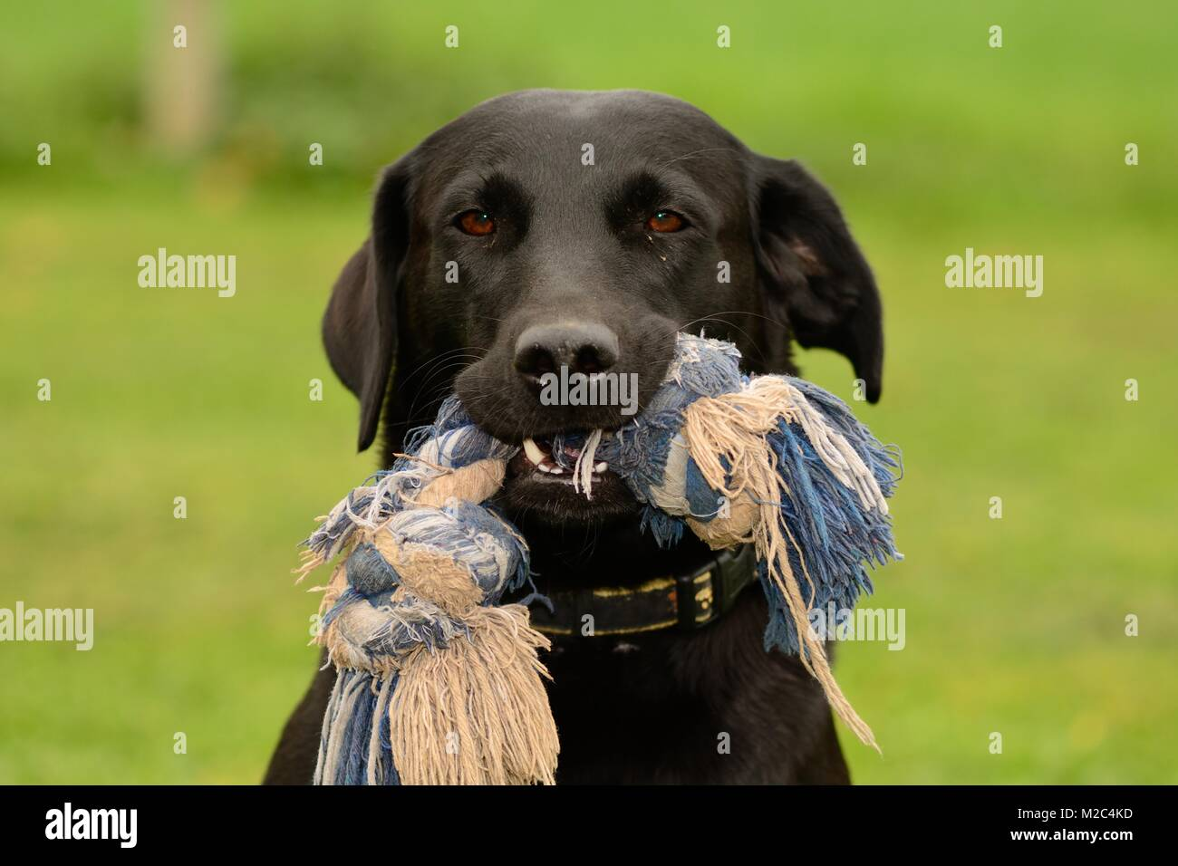 Head shot of a cute black Labrador with a toy in it's mouth - Stock Image