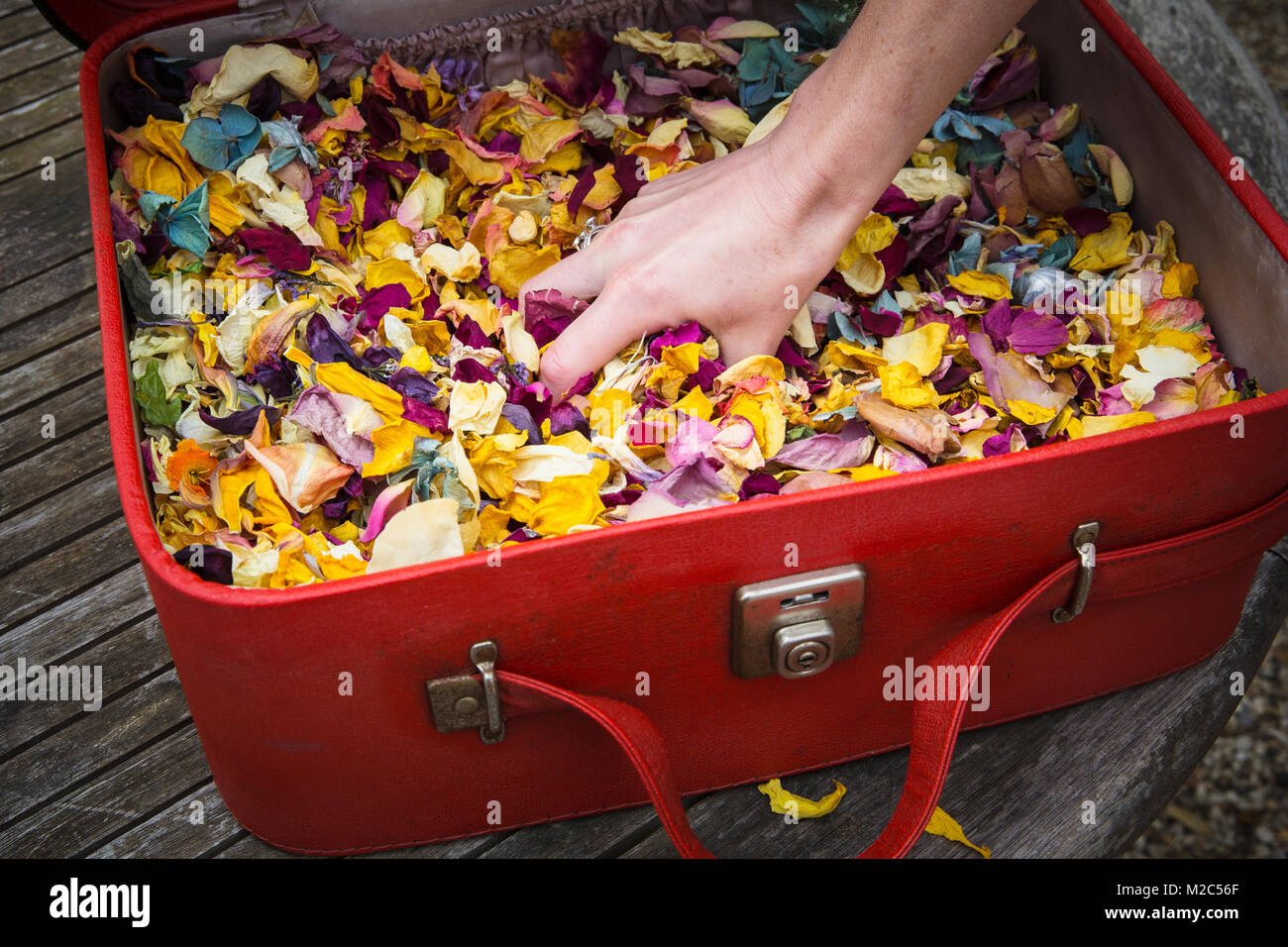 Person grabbing handful of flowers petals from vintage suitcase, close-up - Stock Image