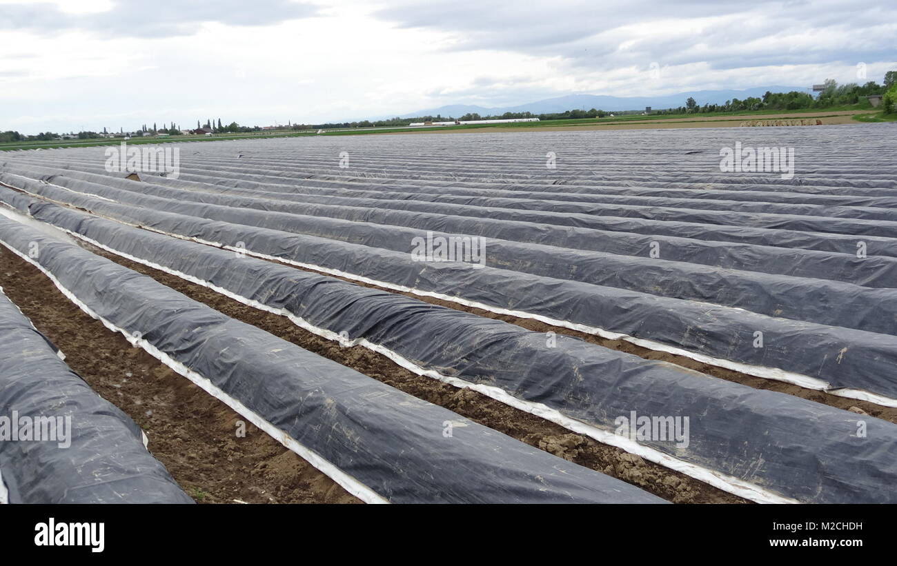Der Spargel gilt als das Königin-Gemüse.  Der Spargel wächst im Frühjahr und wird in der Regel in den Monaten April, Stock Photo