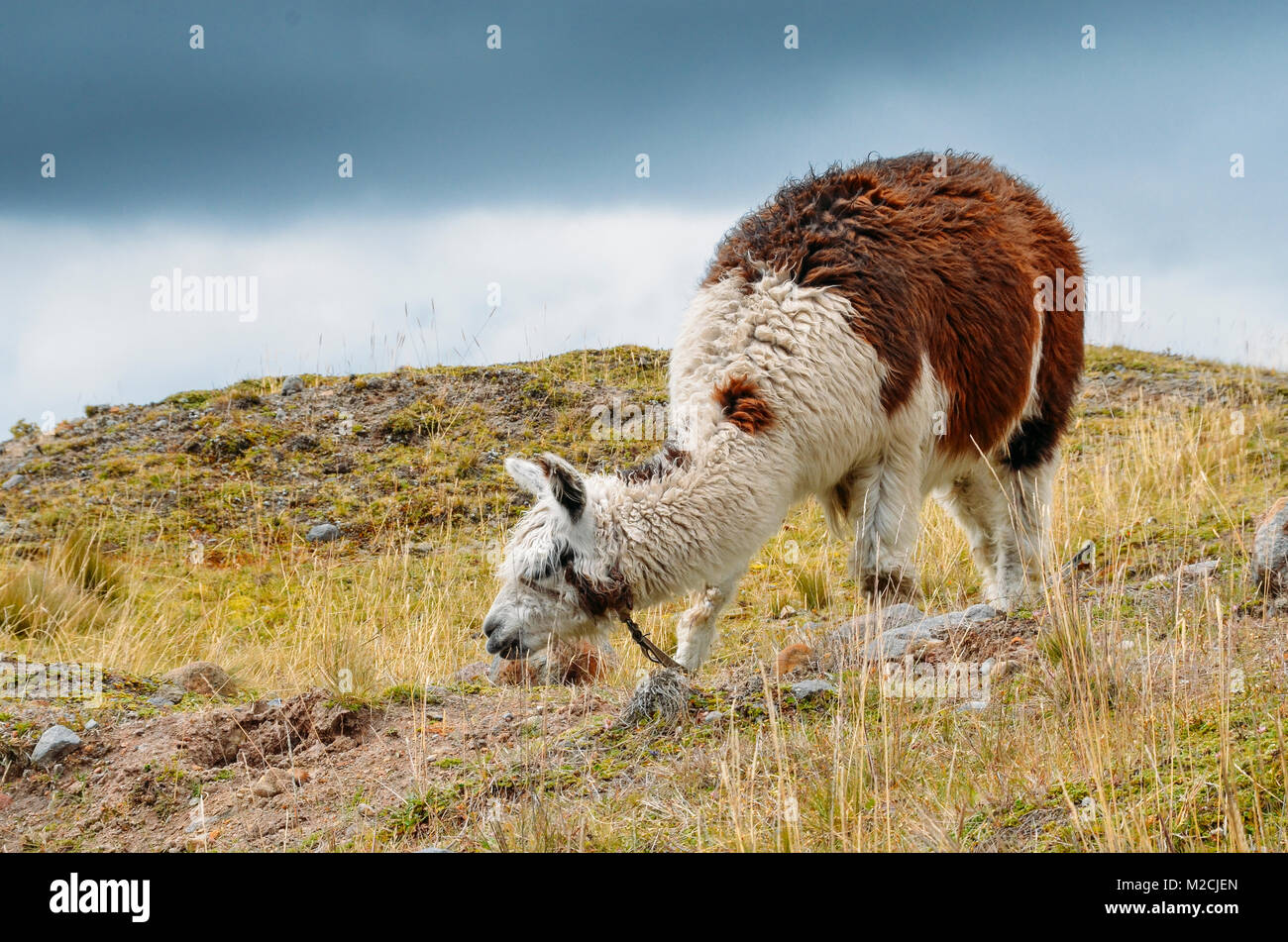 Llama is a domesticated South American camelid, widely used as a meat and pack animal by Andean cultures since the - Stock Image