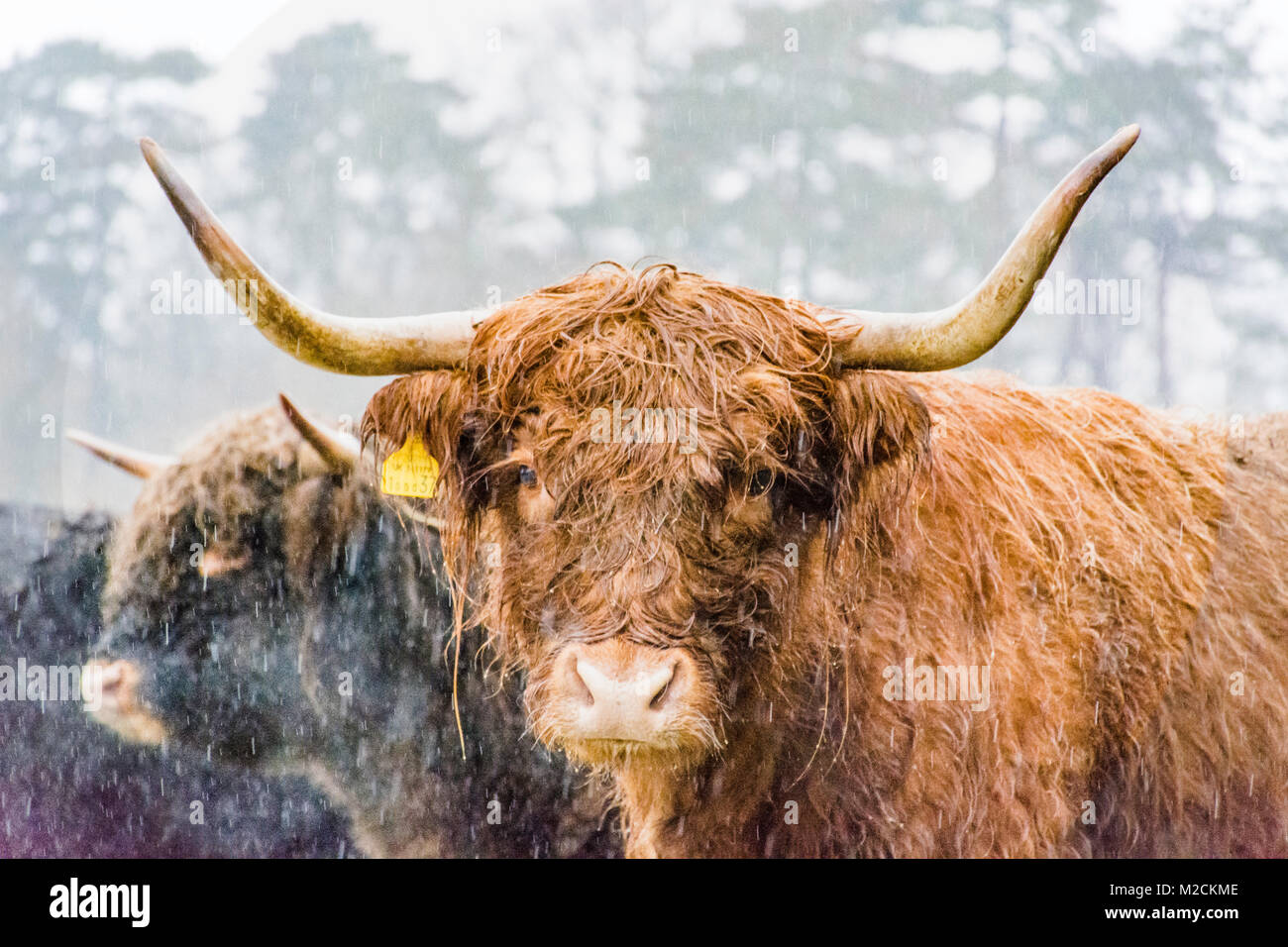 a highland cow during winter - Stock Image