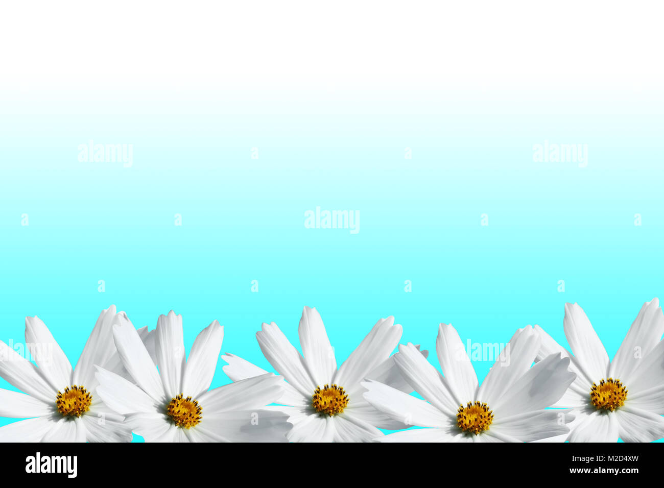White Cosmos Flower Frame On Cyan Background Stock Photo 173622257