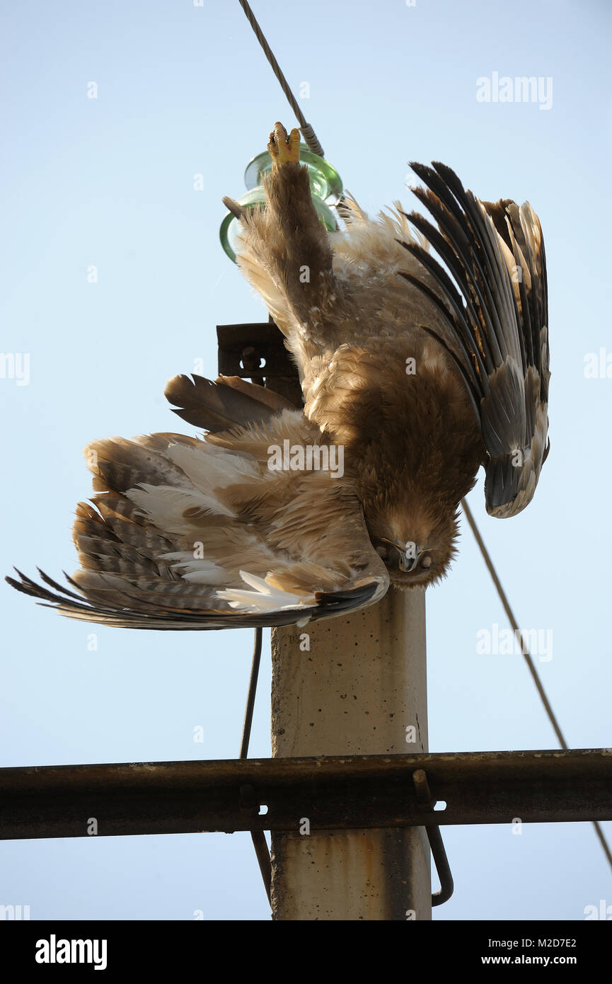 The steppe eagle accidently killed by electrical shock - Stock Image