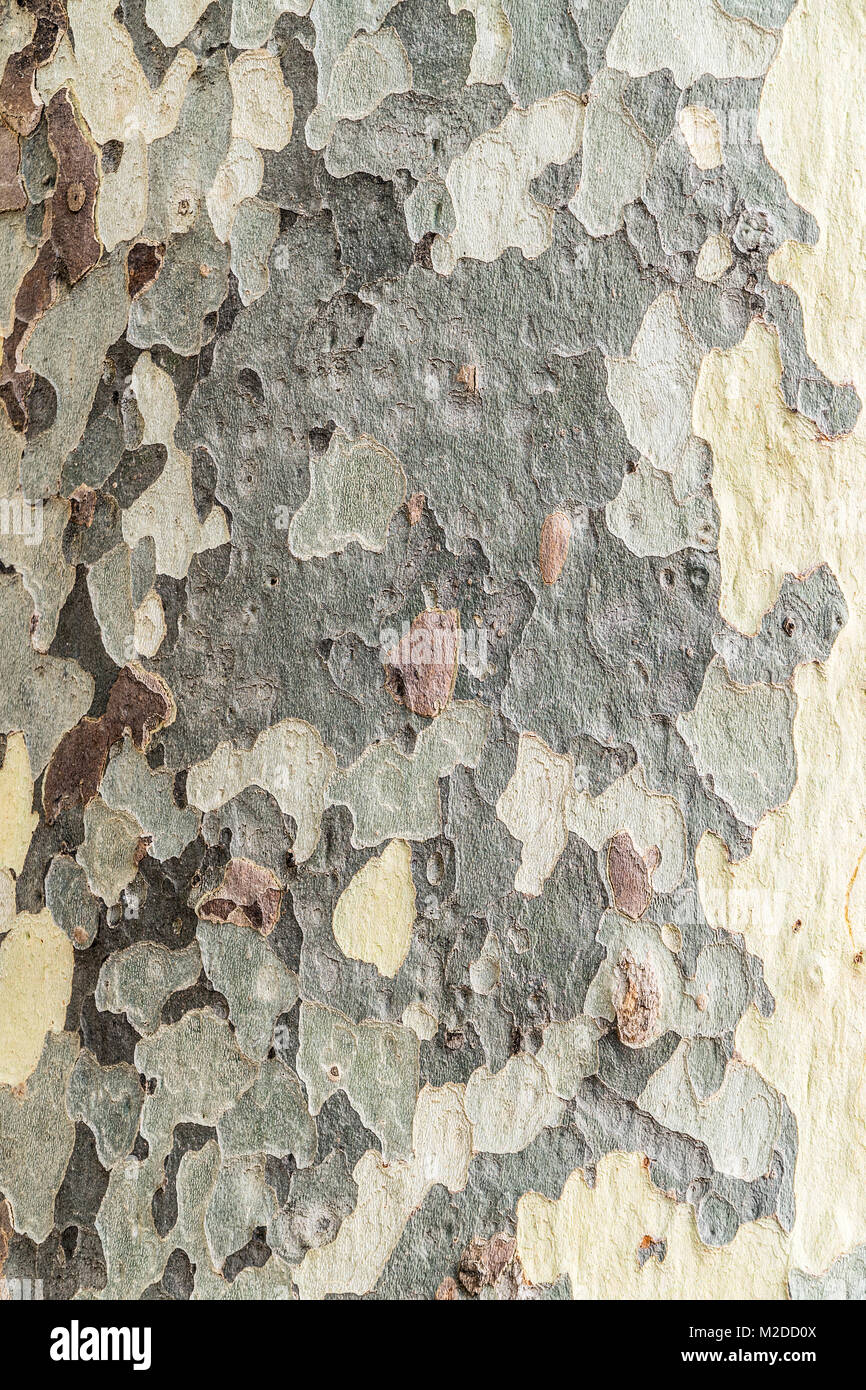 Platanus trees. Scaly and shaped patches on the trunk. - Stock Image