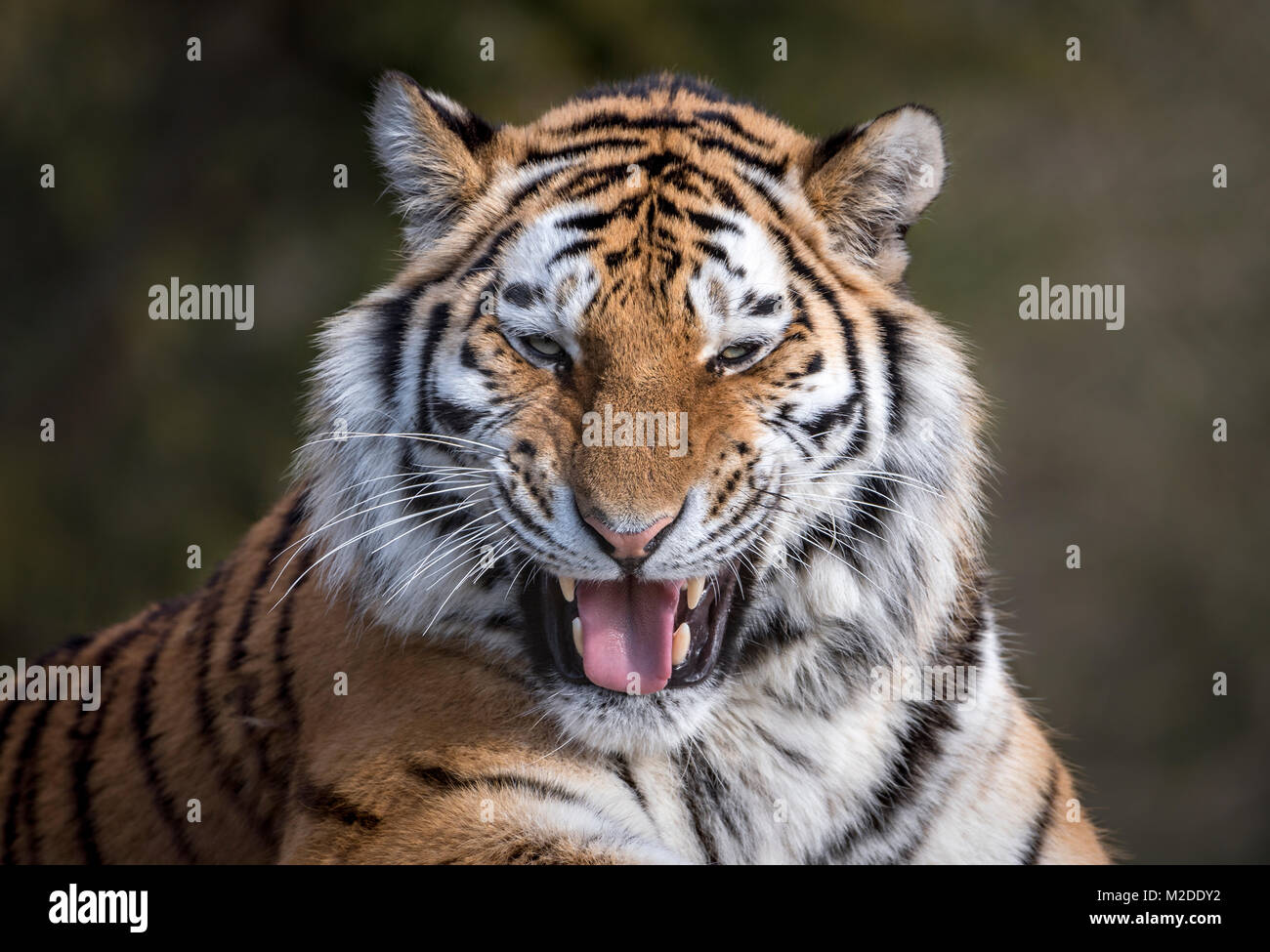 Female Amur tiger grinning - Stock Image
