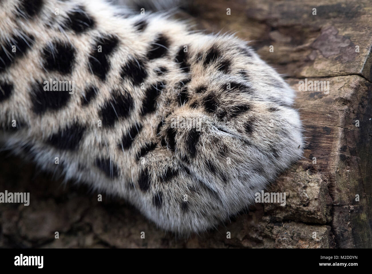 Front paw of rare Amur leopard - Stock Image
