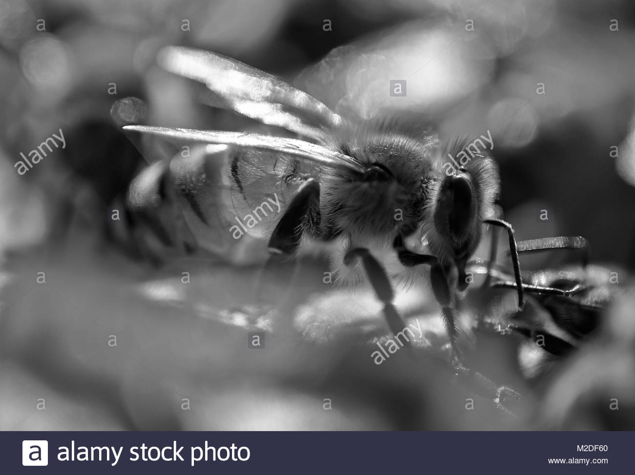 A black and white macro image of a field worker honeybee, transferring nectar to a 'house' bee; it's - Stock Image