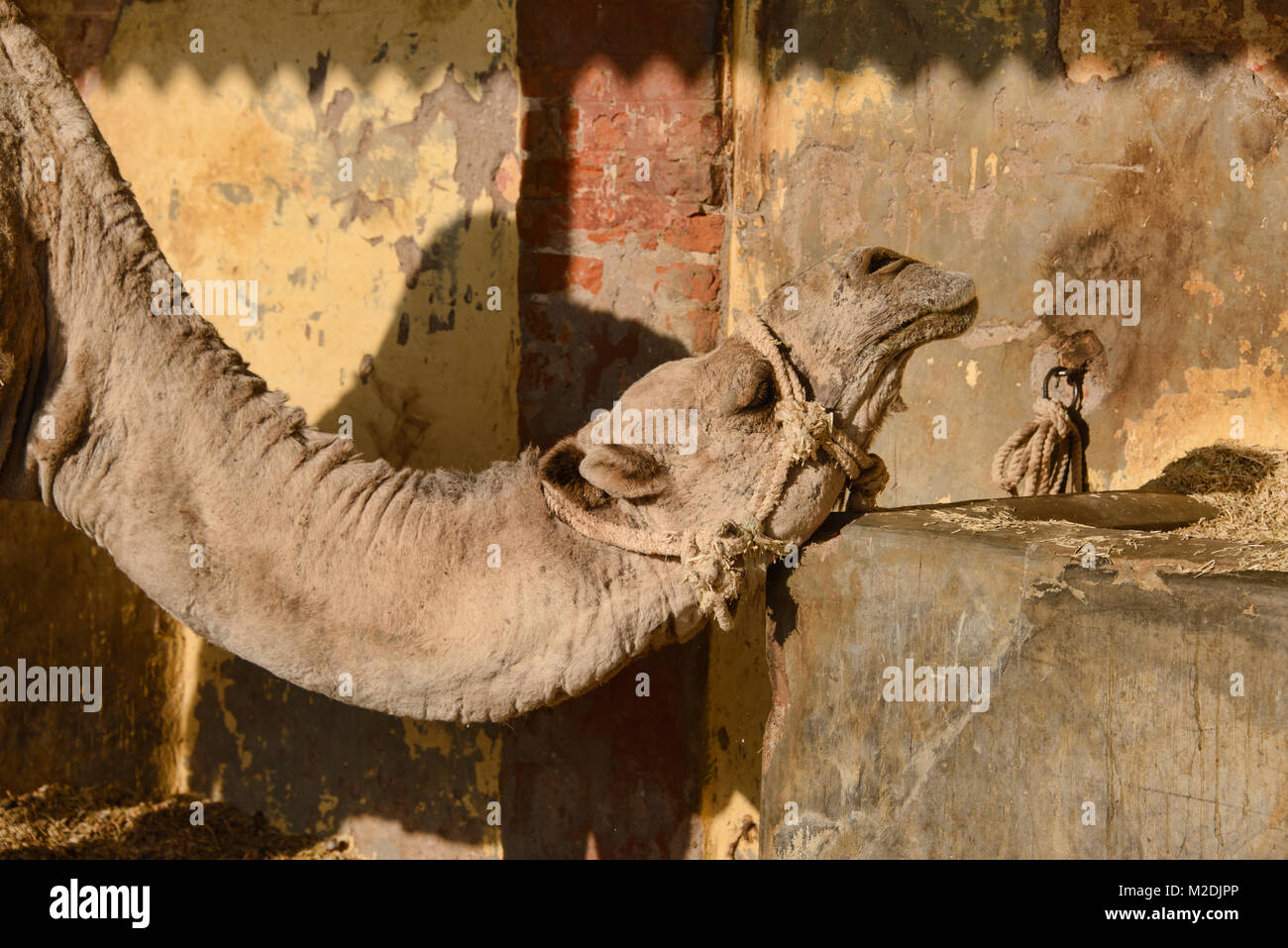Camels at the Camel Breeding Farm in Bikaner, Rajasthan, India - Stock Image