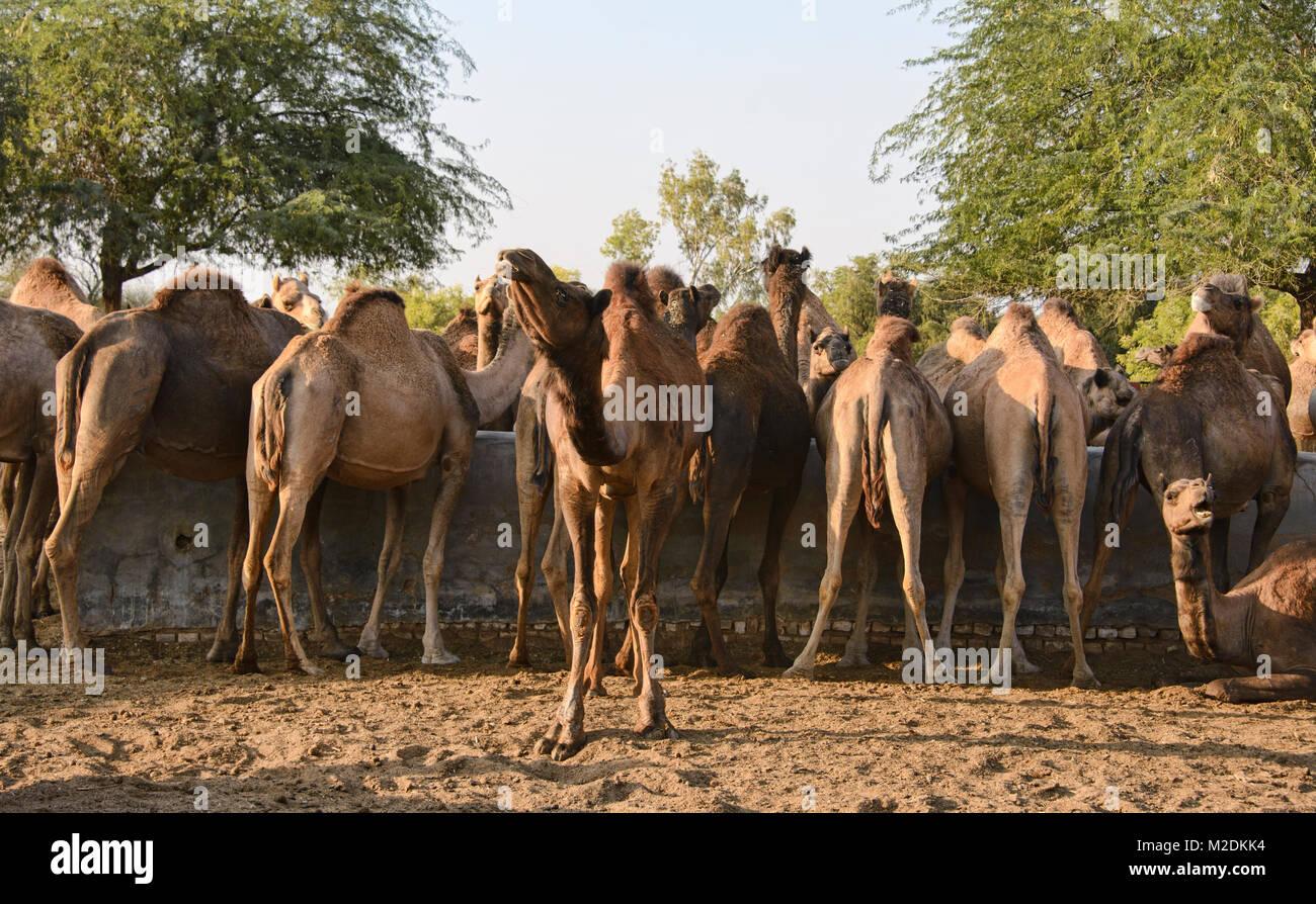 Camels at the Camel Breeding Farm in Bikaner, Rajasthan, India - Stock Image