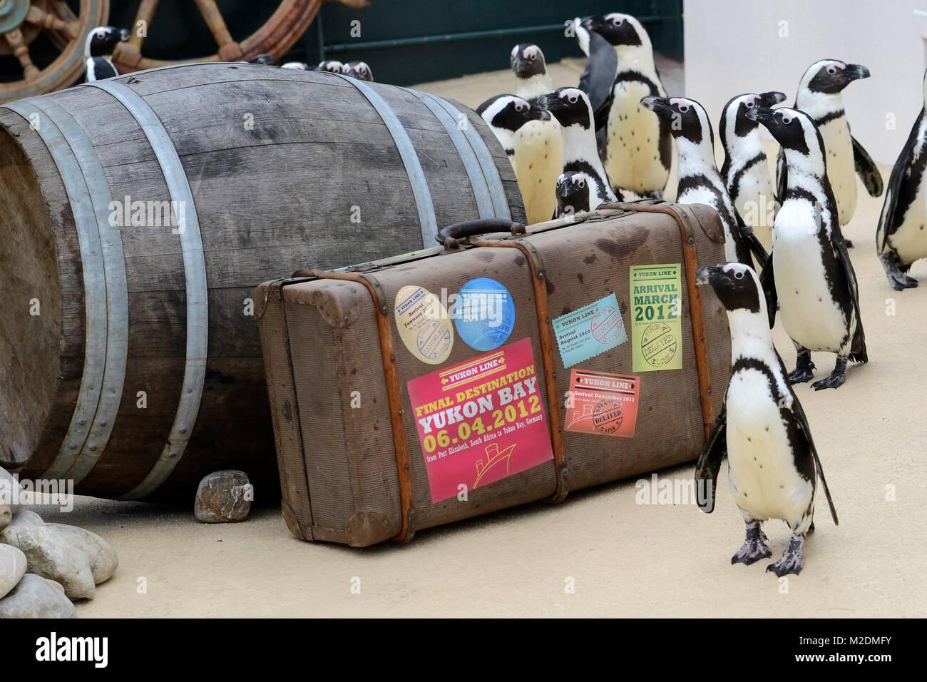 Die Brillenpinguine erkunden ihr neues Revier  bei der Saison-Eroeffnung im Zoo Hannover  am 06.04.2012 Stock Photo