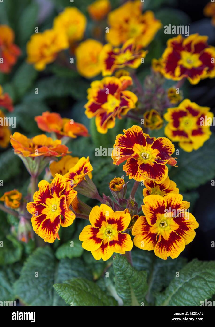 Primula polyantha 'Castillian' Stock Photo
