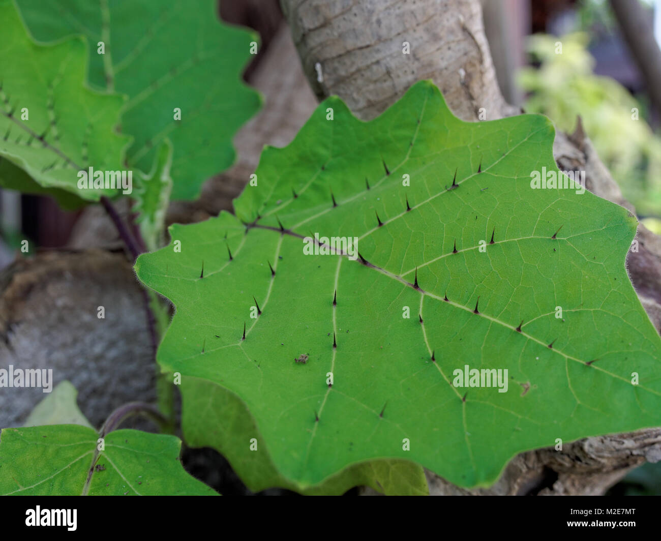 Sharp thron or prickle on Solanum leaf in close up with shallow depth of field - Stock Image