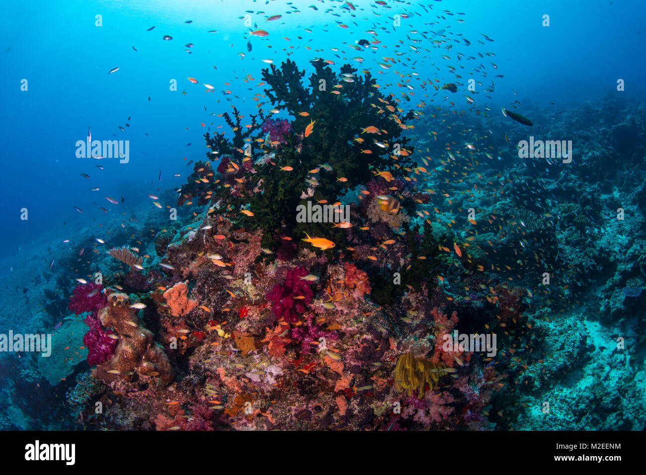 Hard corals and soft corals on the reef with anathias fish - Stock Image