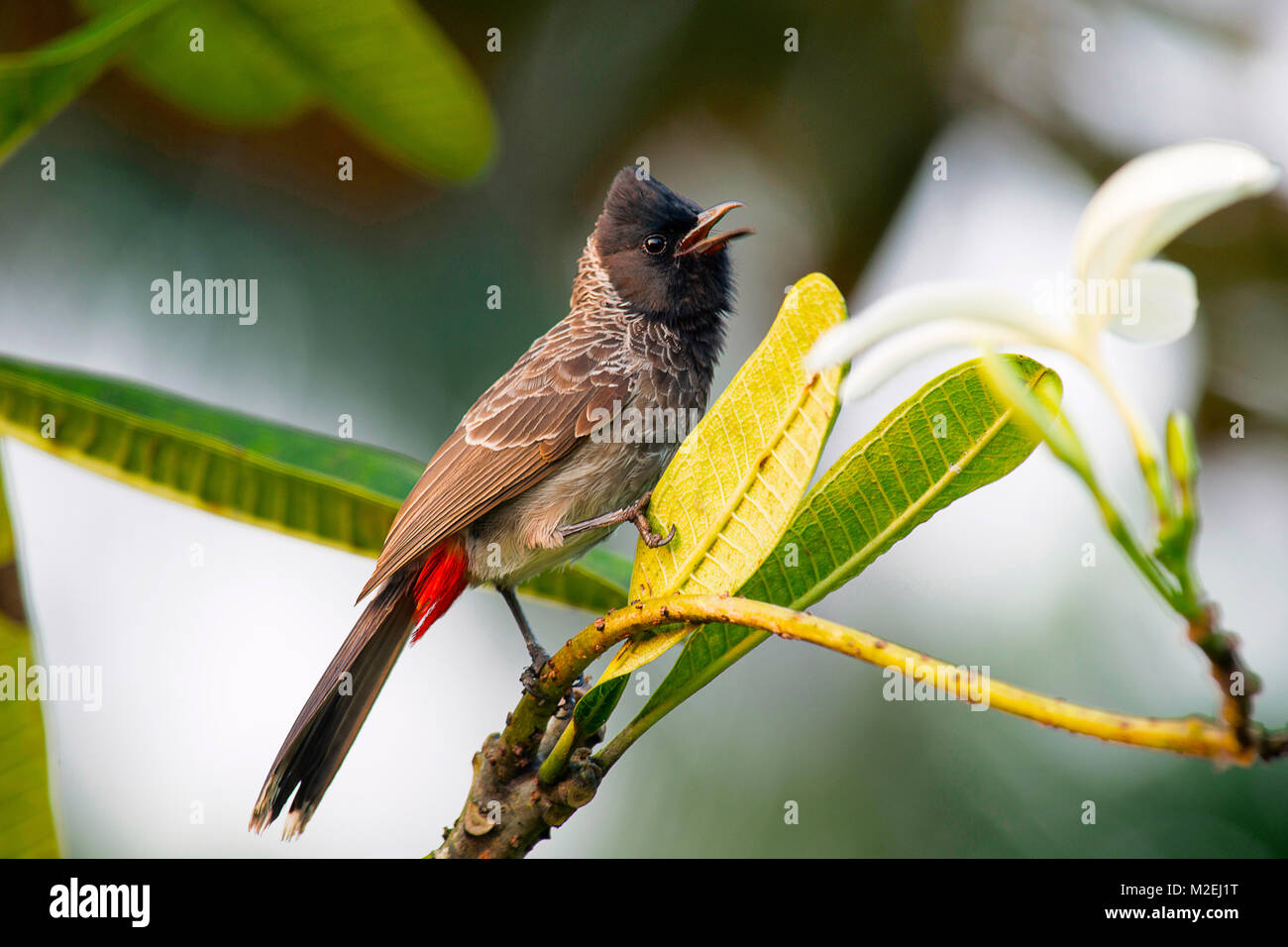 Pycnonotus cafer- scientific name. Red-vented bulbul is member of bulbul family passerines. Resident breeder across - Stock Image