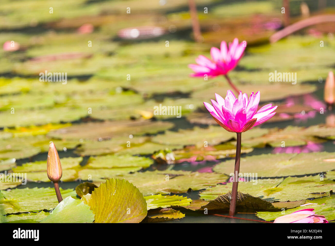 Pink Water Lily Or Pink Lotus Kumud In Sanskrit Native To India