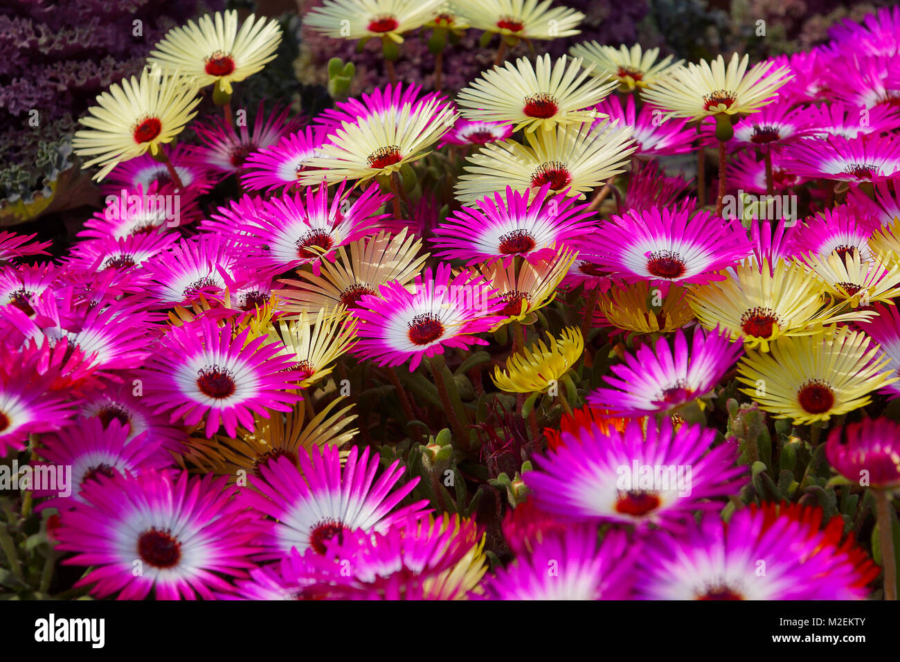 Livingston Daisy. Dorantheanthus belidiformis, belongs to ice plant family, native of South Africa - Stock Image