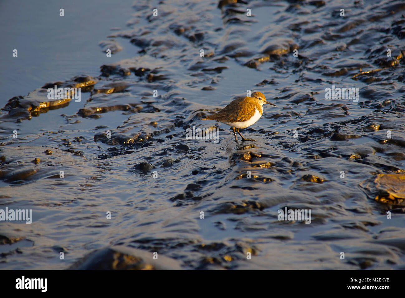 Common Sandpiper is small Palearctic wader. Actitis hypoleucos. Found in wetlands and migrate to Asia and particularly - Stock Image