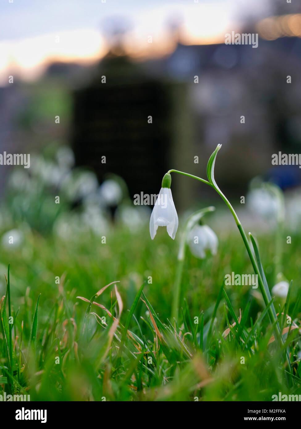 Tissington Village, Derbyshire. 7th Feb, 2018. UK Weather: Snowdrop flower in Tissington Village, Peak District National Park, Derbyshire, England, UK Credit: Doug Blane/Alamy Live News Stock Photo