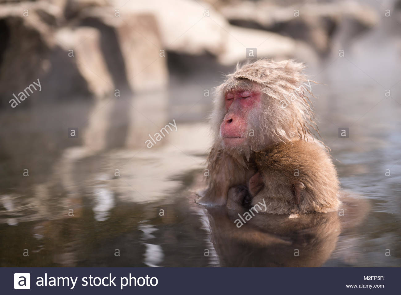 Snow monkey enters a hot spring, at Jigokudani Snow monkey in Nagano, Japan. Stock Photo