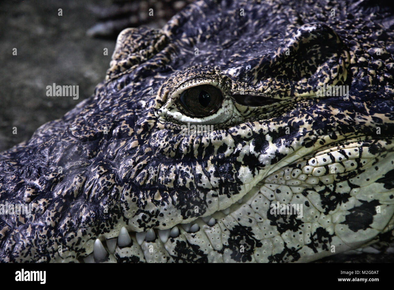 Crocodile face close up Stock Photo
