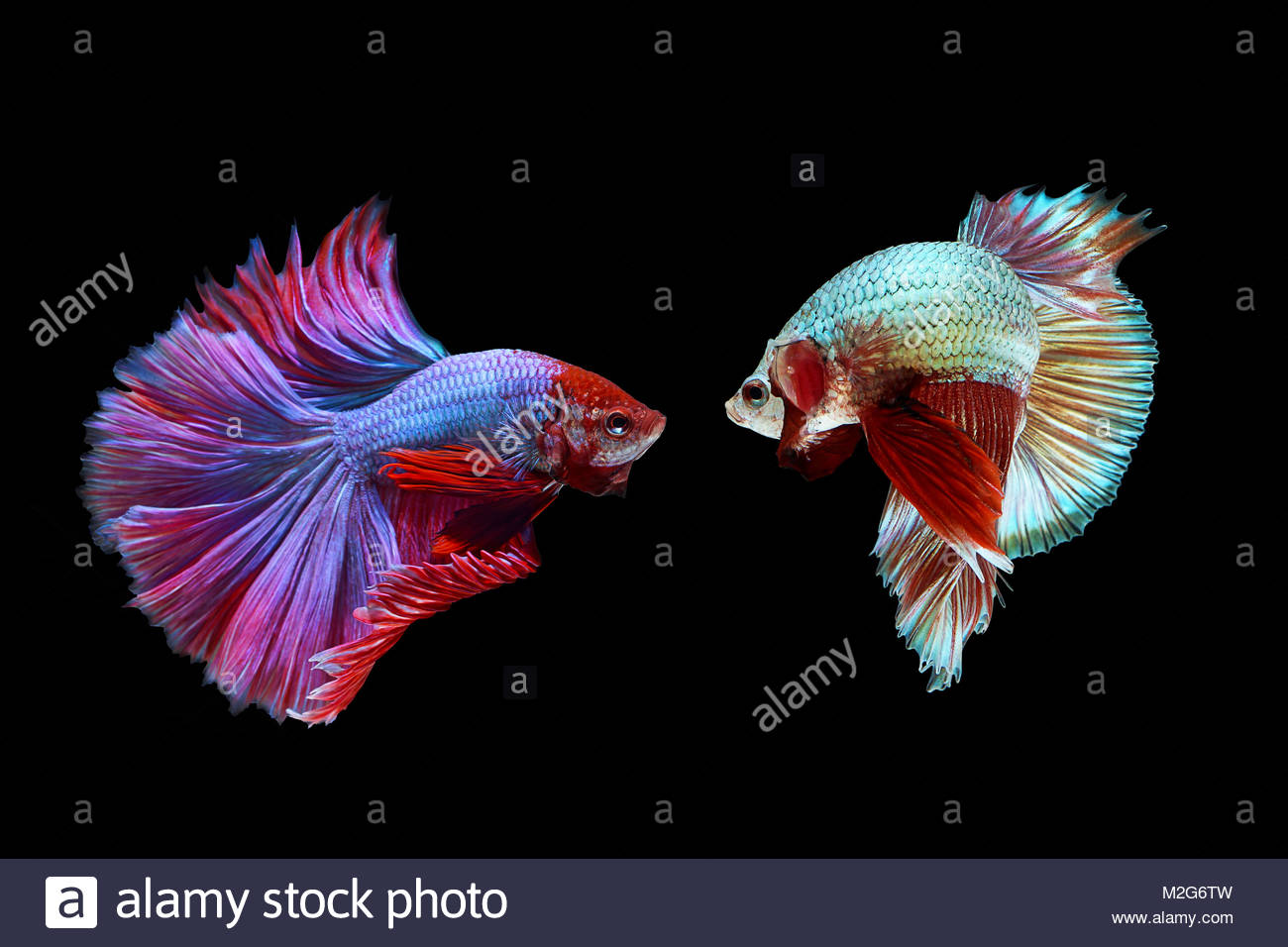 Blue siamese fighting fish stock photos blue siamese for Betta fish light