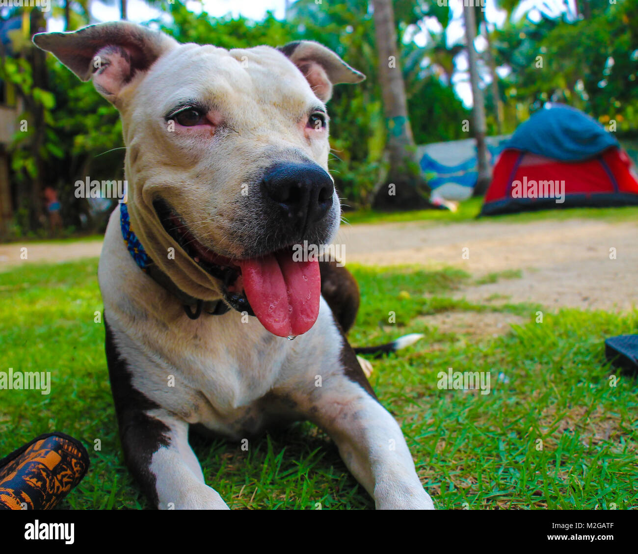 Closeup of cute pit bull dog on the beach, with green palm trees background - Stock Image
