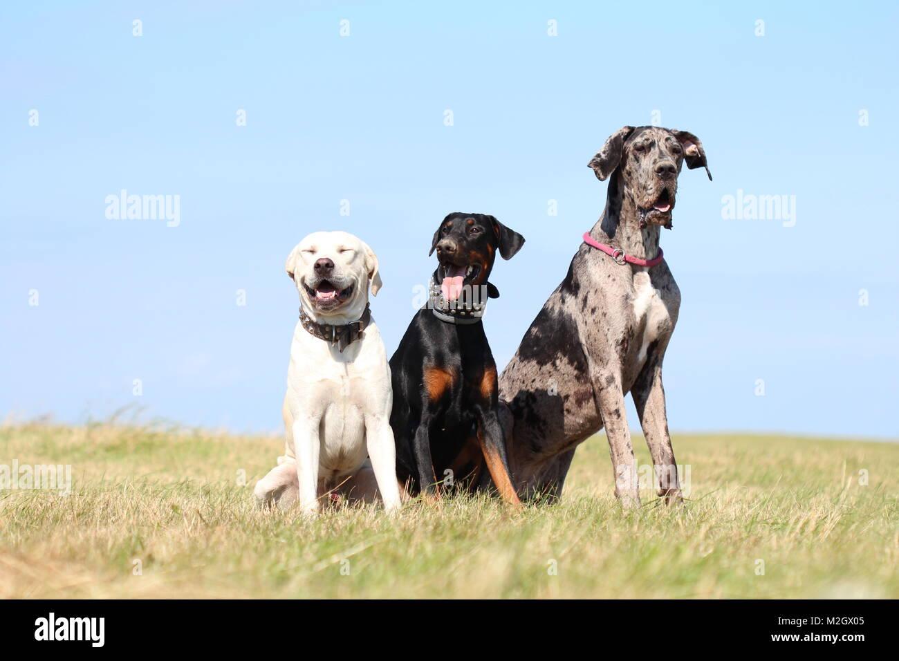 3 dogs sitting on the ground - doberman pincher, great dane, labrador / amstaff - Stock Image
