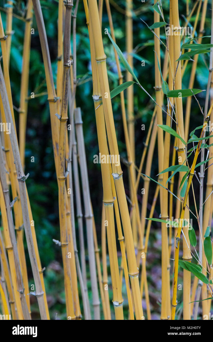 Bamboo stems growing in February - Stock Image