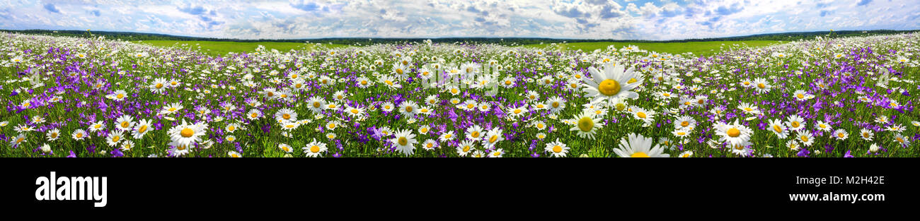 spring landscape panorama with flowering flowers on meadow. white chamomile and purple bluebells blossom on field. - Stock Image