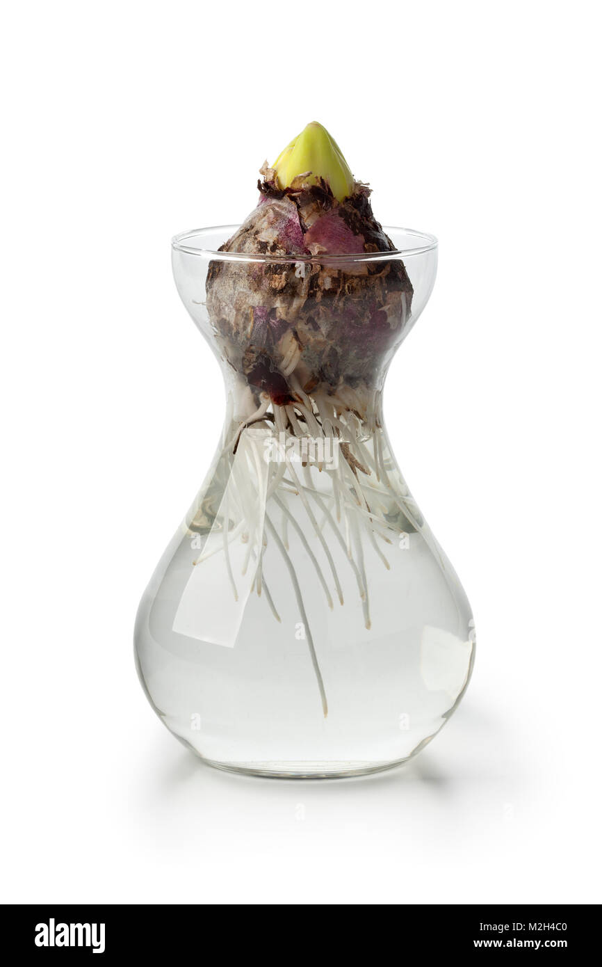 Hyacinth flower bulb starts growing in a glass vase Stock Photo