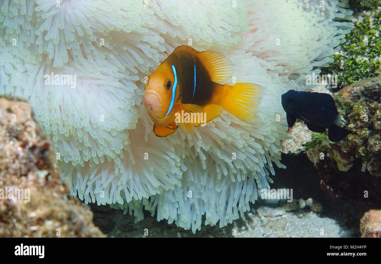 Tropical fish orange-fin anemonefish with a damselfish and sea anemone tentacles underwater in the Pacific ocean, - Stock Image