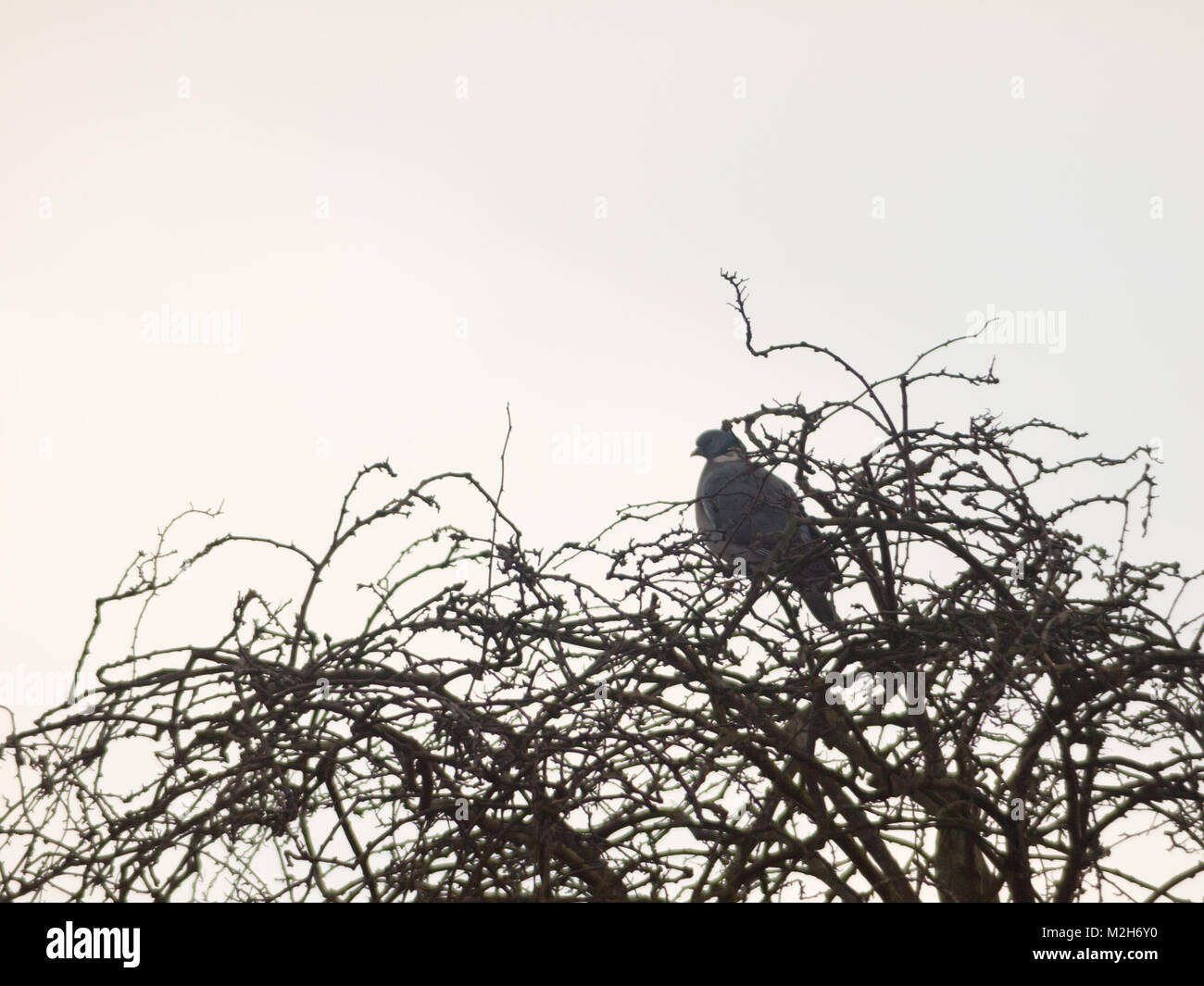 pigeon sitting atop tree bare branches white sky close up; essex; england; uk - Stock Image