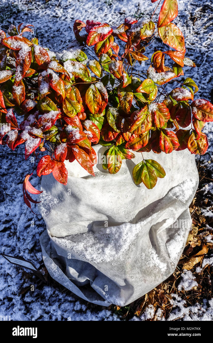 Nandina domestica ' Woods Dwarf '. Heavenly bamboo, Horticultural fleece to protect against winter frost - Stock Image