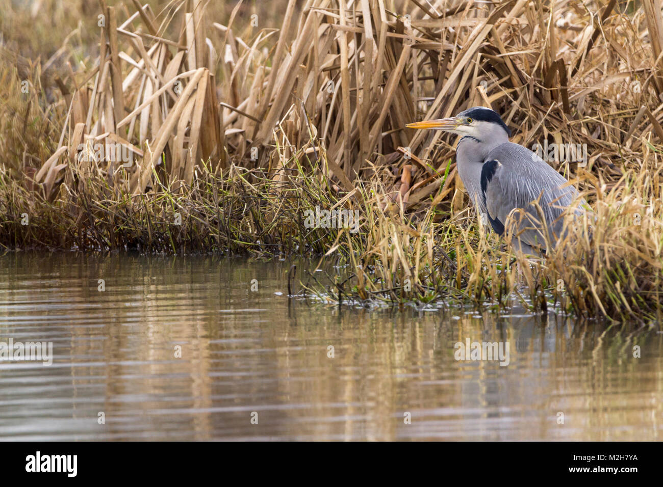 Grey Heron (Ardea cinerea) settled in lakeside rushes. Blue grey with white and black markings long yellow dagger - Stock Image