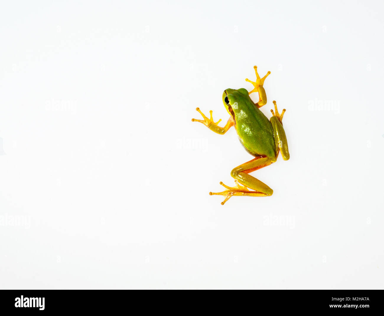 An Hyla Meridionalis in a light box using three flash lights for lightning. The frog use its suckers to move over - Stock Image