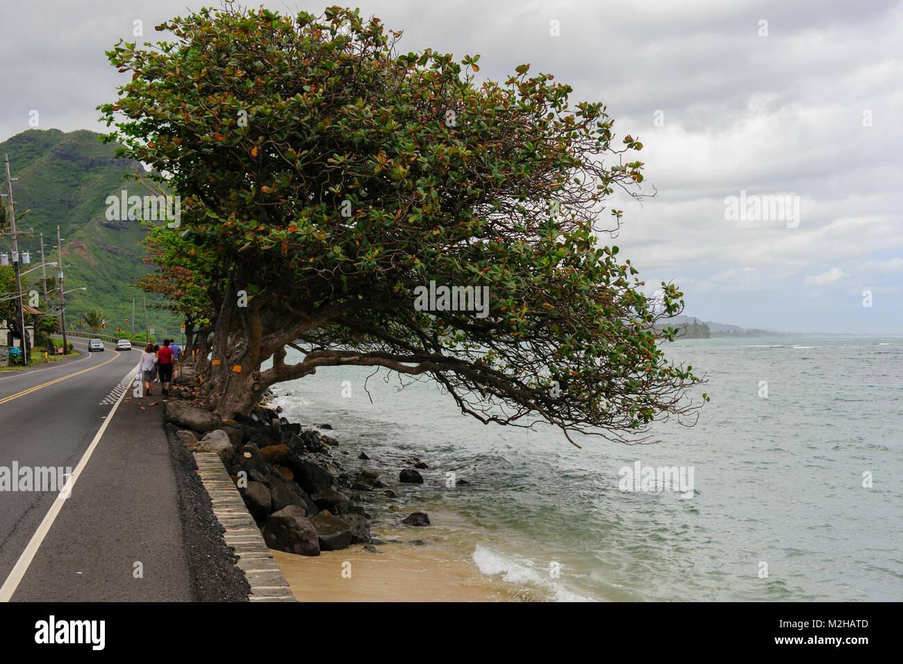 Tree clinging to sea wall preventing erosion on Kamehameha Highway, near Ka'a'awa, Oahu, Hawaii, USA Stock Photo