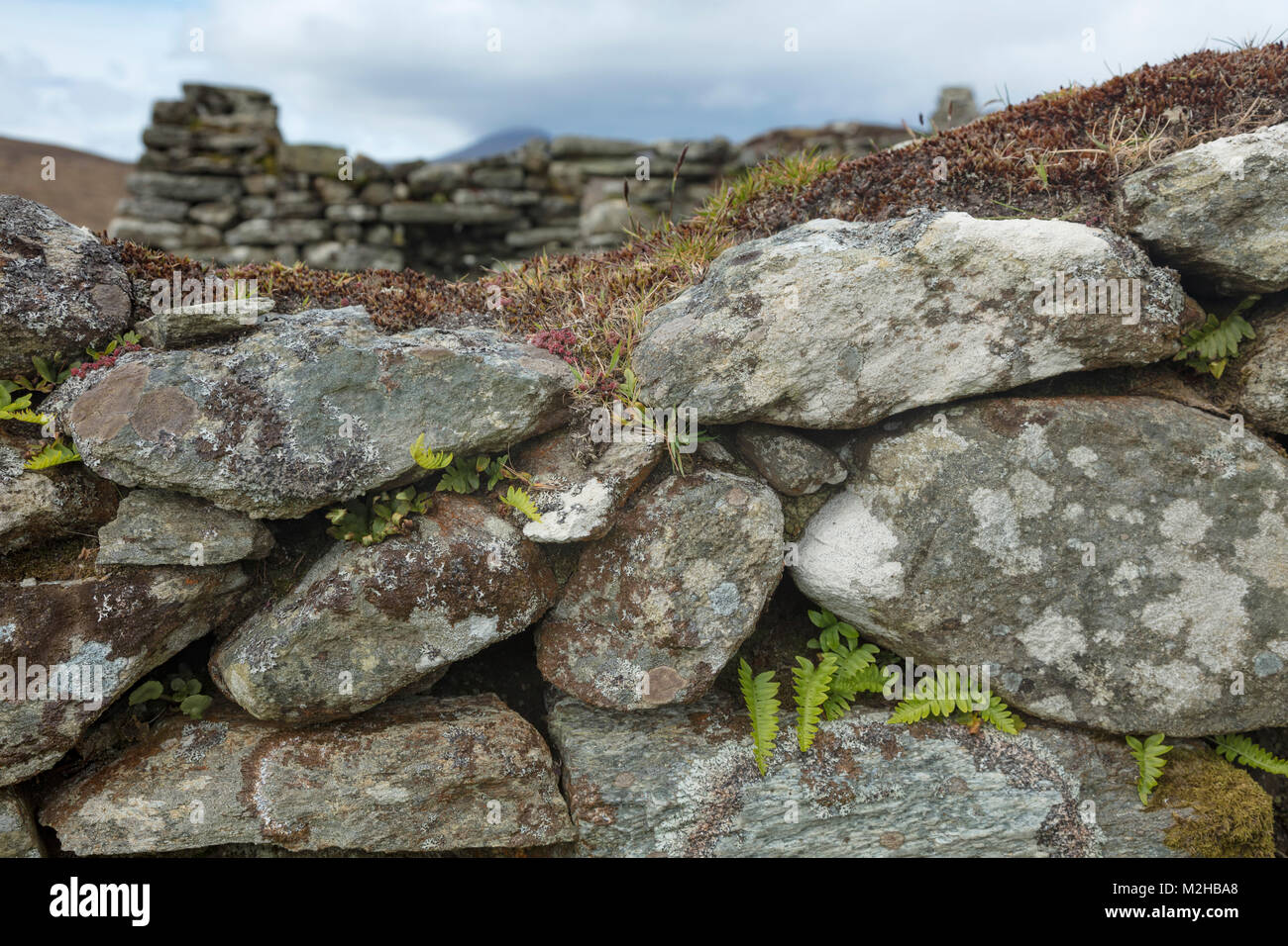 Ferns growing in a stone wall in Slievemore deserted village, Achill Island, County Mayo, Ireland. - Stock Image