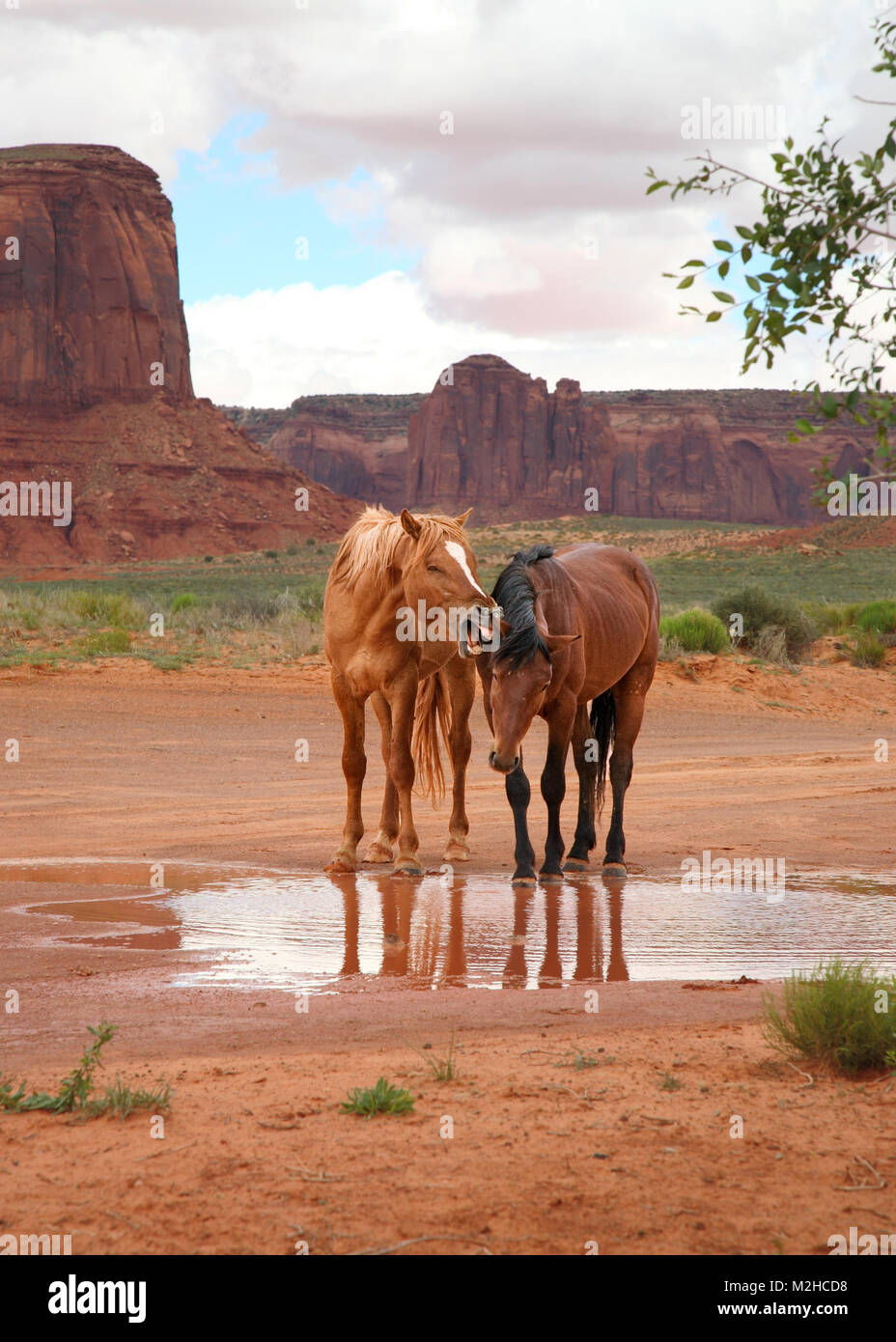 two funny wild horses at watering hole, one appears to be yelling - Stock Image