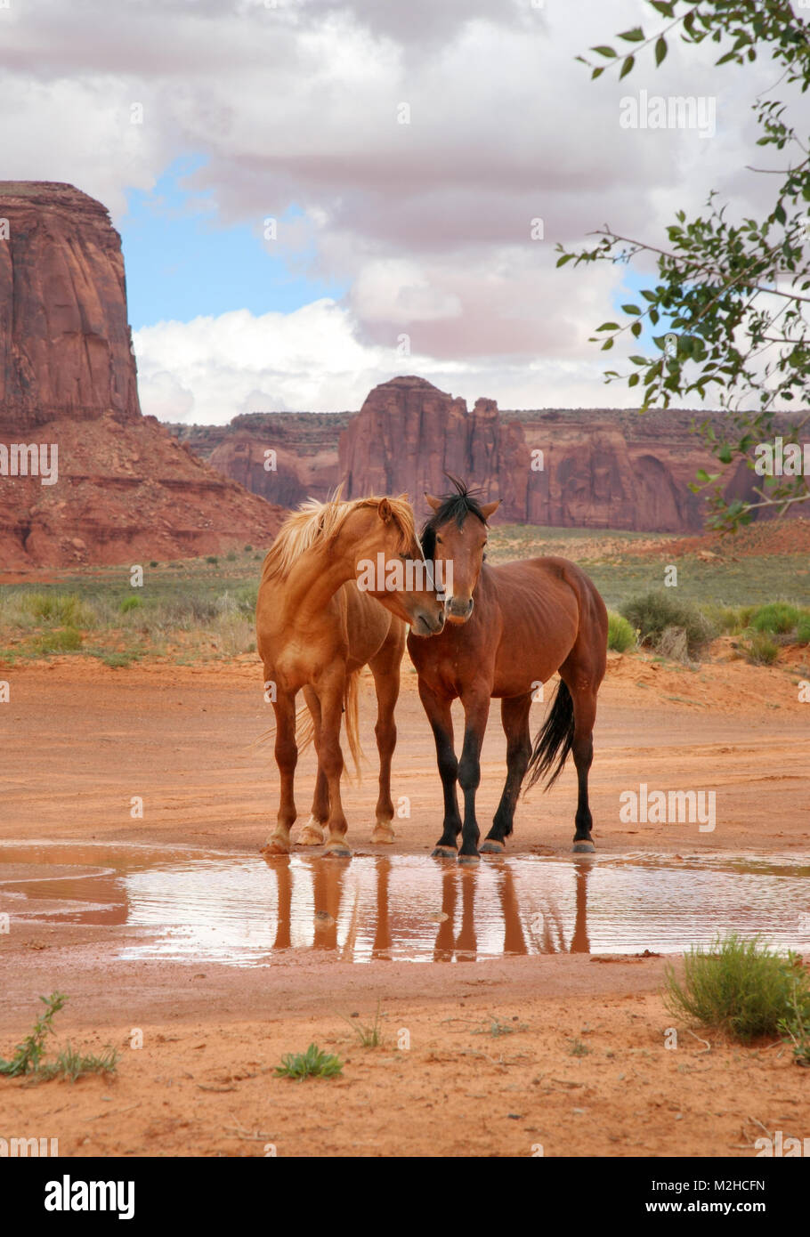 two wild horses together at a water hole with heads close showing affection Stock Photo