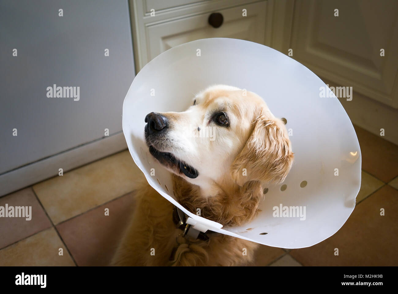 Golden Retriever dog wearing a post-operation surgical collar to help his recovery in UK - Stock Image