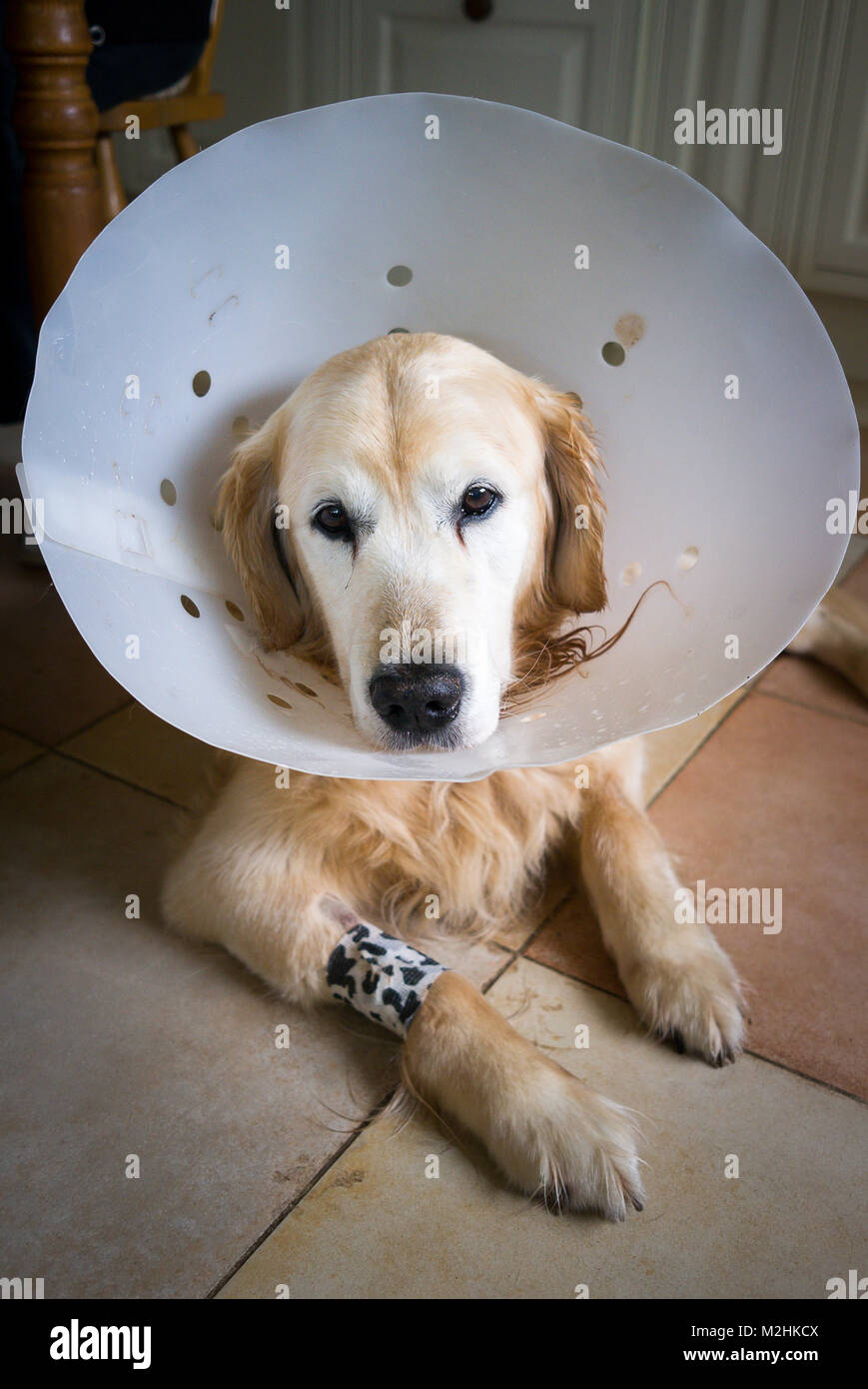 Golden Retriever dog wearing a post-operation surgical collar wo help his recovery in UK - Stock Image