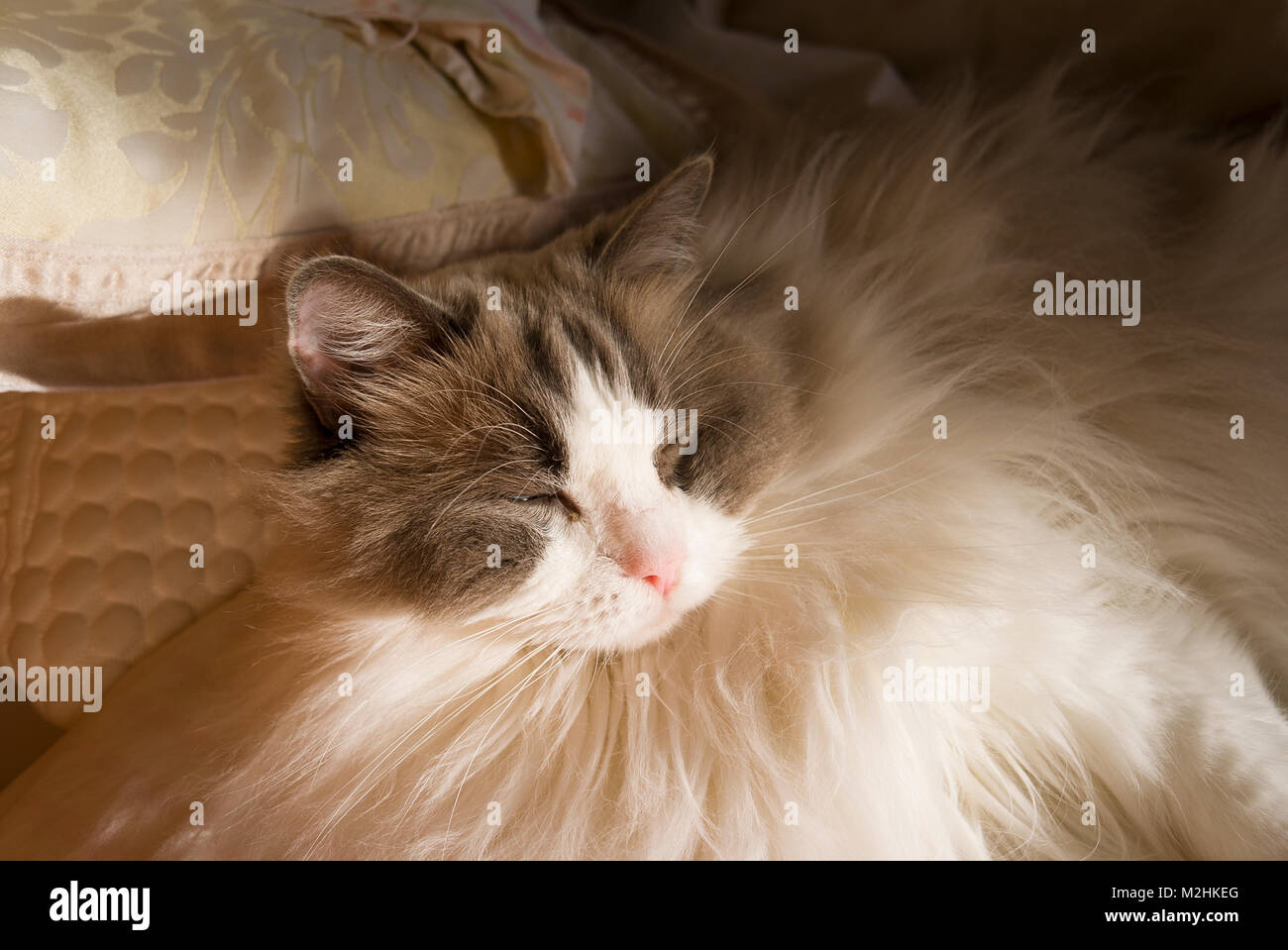 Dozing in a sunny bedroom after the humans have left the room in England UK An adult male Ragdoll cat. - Stock Image