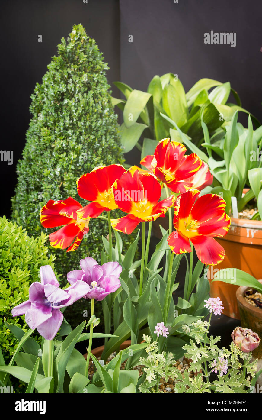 Tulips continue to provide a splash of colour even after passing their prime condition - Stock Image