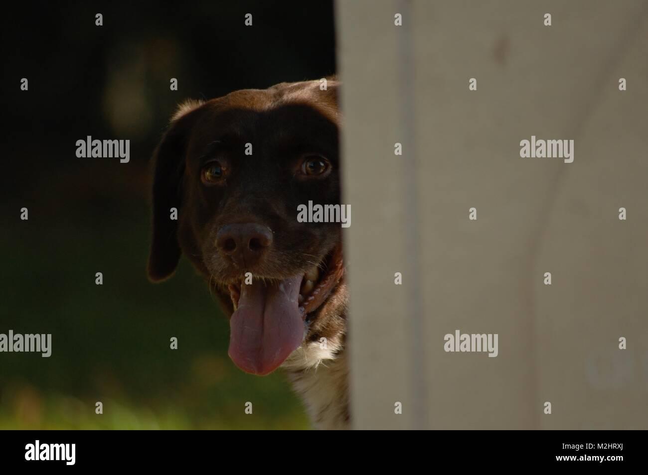 Dog Peeping - Stock Image