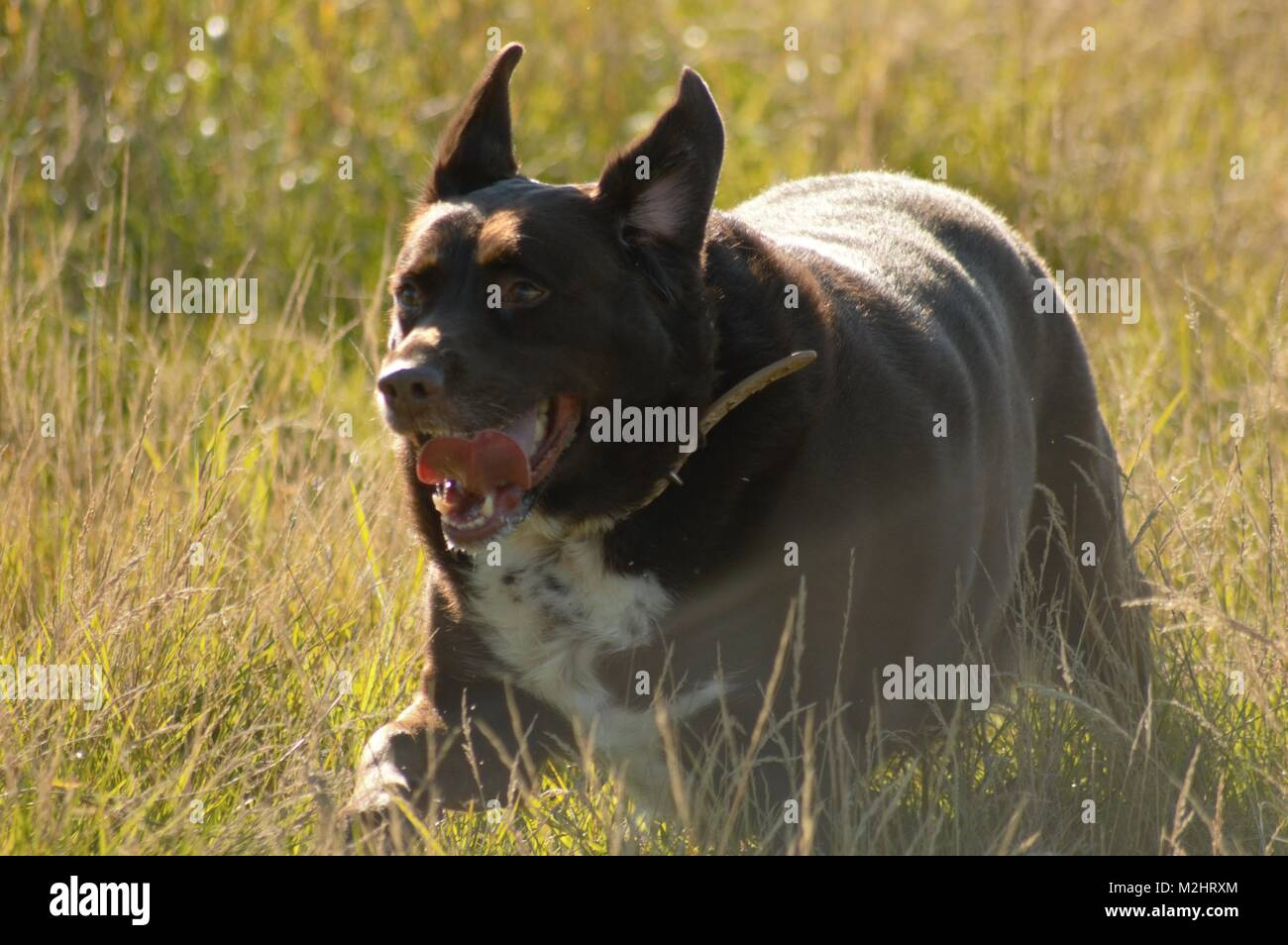 Dog running in the grass. - Stock Image