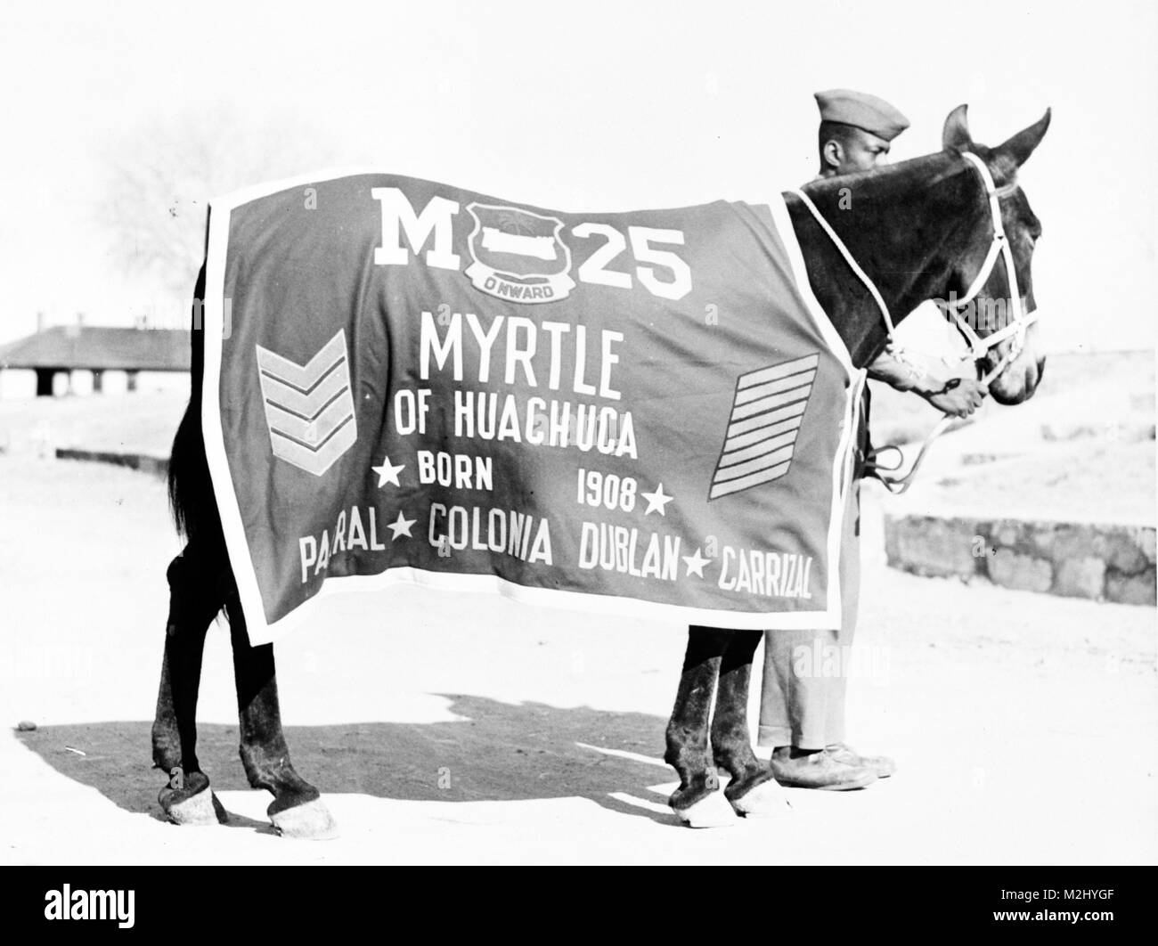 Buffalo Soldier Pack Mule, Myrtle - Stock Image
